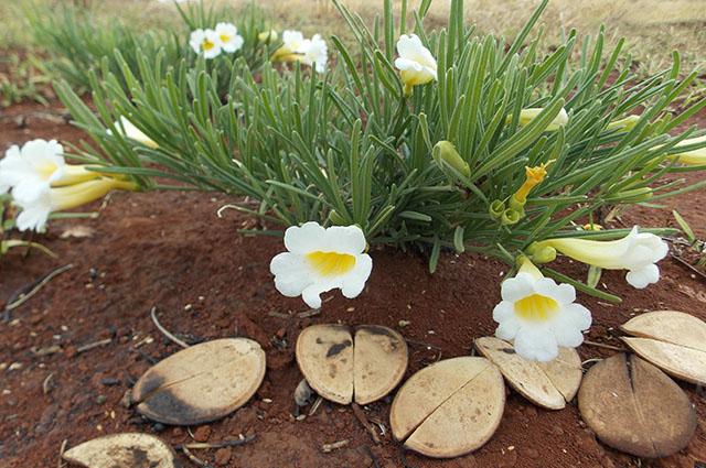 Flores de Catuaba
