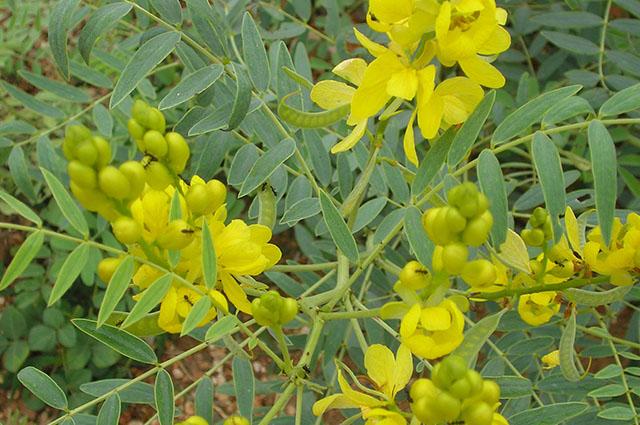Folhas e flores de sene