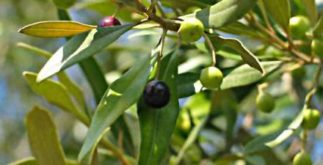 Chá de oliveira – Benefícios e propriedades