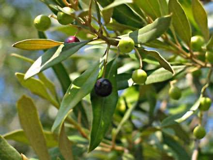 Chá de oliveira - Benefícios e propriedades