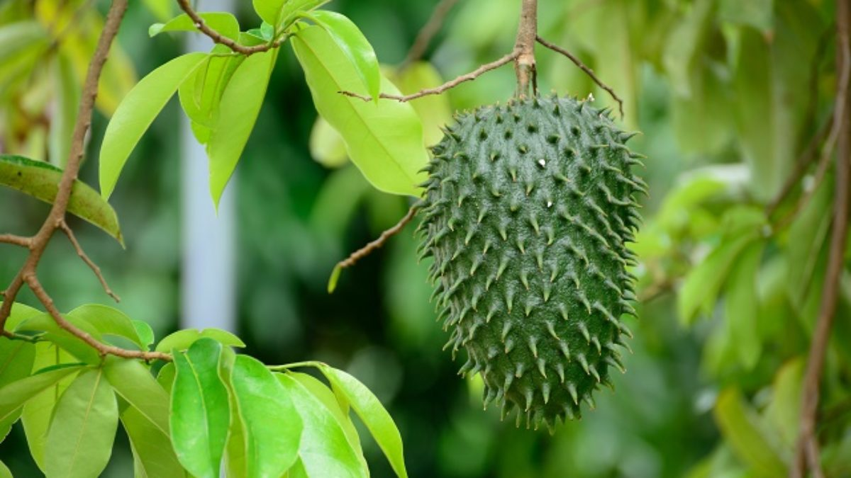 como se toma solfa syllable custard apple soldier el cancer