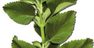 Chá de boldo – Quais seus benefícios?