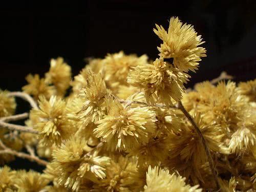 Chá de marcela – Quais os benefícios dessa planta?