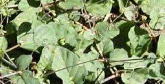 Chá de erva tostão – Os benefícios dessa planta