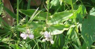 Chá de trapoeraba – Benefícios e propriedades desta planta