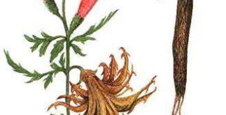 Chá de garra do diabo – Veja os poderes desta infusão
