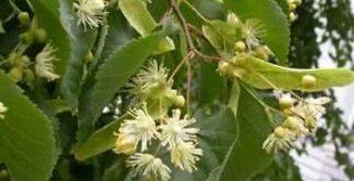 Chá de tília – Conheça seus benefícios para saúde