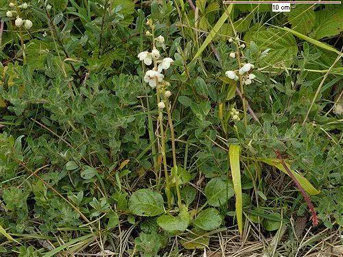 Chá da planta pirole é um poderoso diurético natural