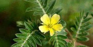 Chá de tribulus terrestris – Conheça seus benefícios e propriedades