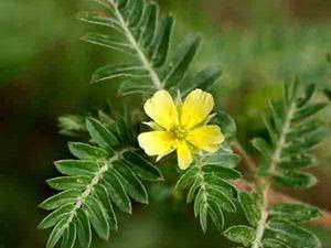 Chá de tribulus terrestris - Conheça seus benefícios e propriedades