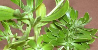 Benefícios e propriedades do chá de bálsamo