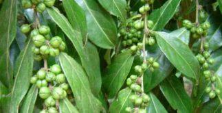 Chá de guaçatonga – Benefícios e propriedades