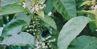 Chá de jurubeba – Benefícios e propriedades
