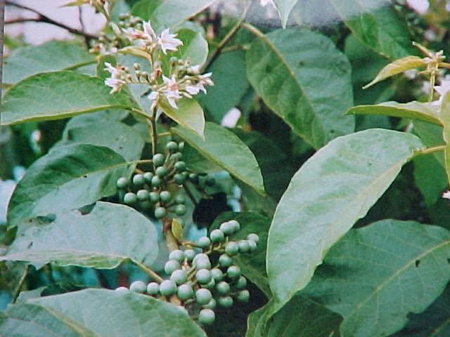 Chá de jurubeba