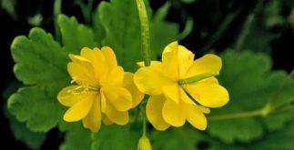 Chá da erva andorinha – Benefícios e propriedades