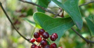 Chá de salsaparrilha – Benefícios e propriedades