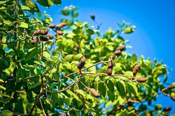 Chá de jatobá – Benefícios e propriedades
