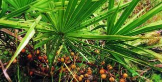Chá de Saw Palmetto – Benefícios e propriedades