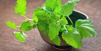 Chá de erva cidreira – Benefícios e propriedades