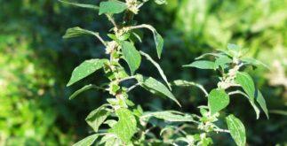 Chá de fura-parede – Benefícios e propriedades