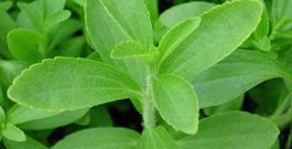 Chá de stévia – Benefícios e propriedades