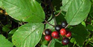 Chá de frângula – Benefícios e propriedades