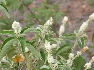 Chá de velame-do-campo - Benefícios e propriedades