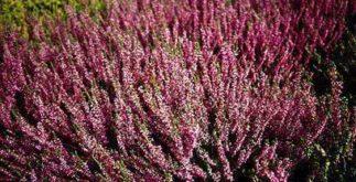 Chá de calluna – Benefícios e propriedades