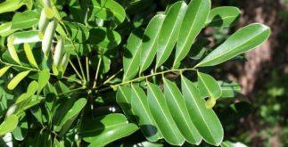 Chá de simarouba – Benefícios e propriedades