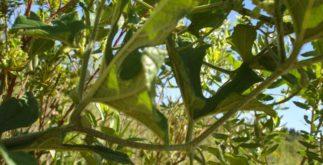 Chá de tayuya – Benefícios e propriedades