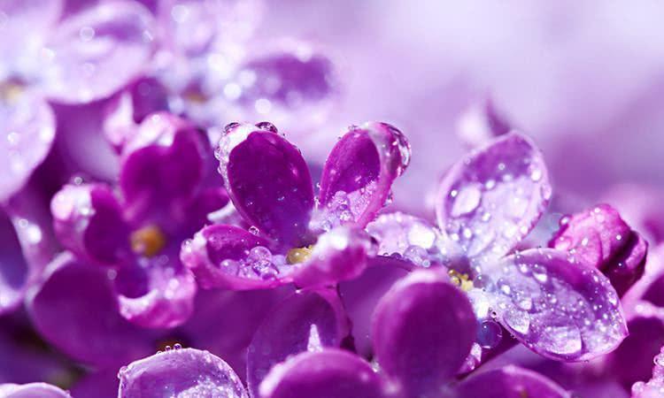 Chá de violeta - Benefícios e propriedades