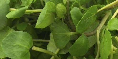 Chá de agrião - Benefícios e propriedades