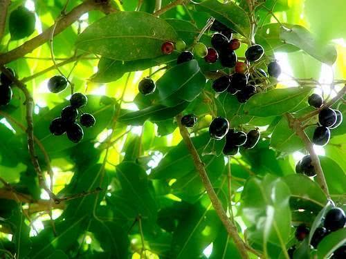 Chá de jambolão - Benefícios e propriedades