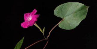Chá de jalapa – Benefícios e propriedades