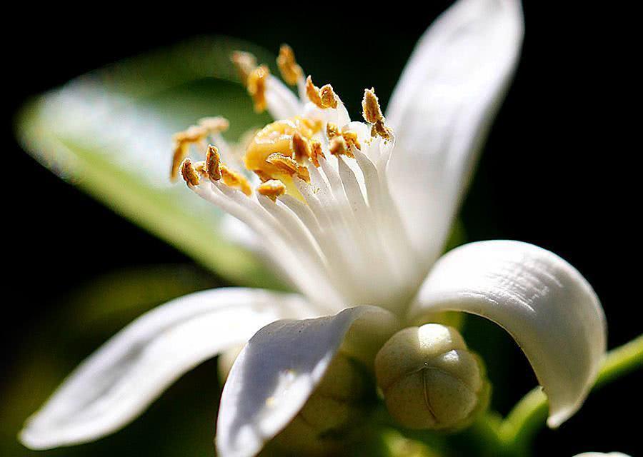 Chá de flor de laranjeira - Benefícios e propriedades
