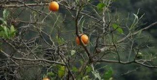 Chá de limão bravo – Benefícios e propriedades