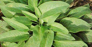 Chá de confrei – Benefícios e propriedades