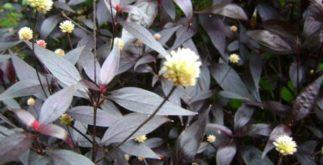 Chá de erva doril – Benefícios e indicações