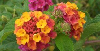 Chá de cambará – Benefícios dessa planta
