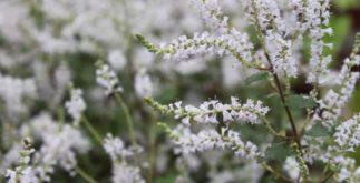 Chá de mirra – Benefícios e propriedades