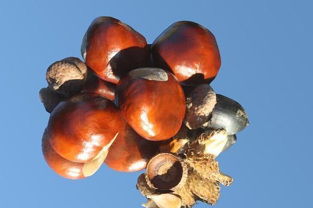 Conheça a castanha capaz de melhorar a circulação sanguínea