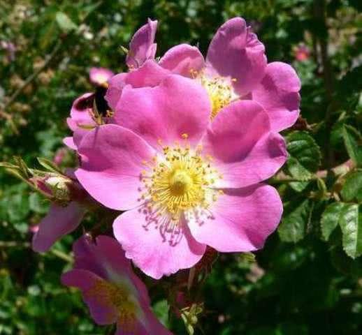 Benefícios do chá de rosa mosqueta