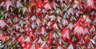 Videira-vermelha trata e previne varizes e frieiras