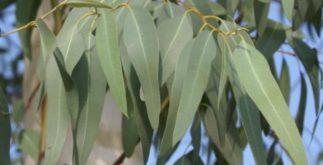 Plantas 'super' eficientes para combater a bronquite