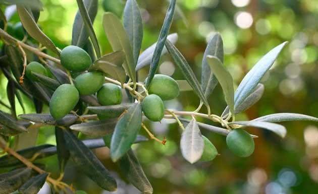Ações benéficas do chá de oliveira incluem perda de peso