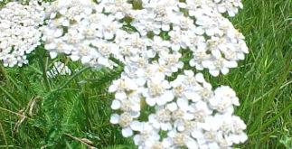 Chá da planta mil folhas para combater a falta de apetite e outros males