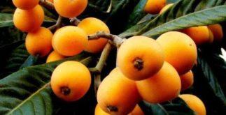 Benefícios do chá das folhas da planta nêspera