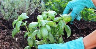 Como plantar em casa ervas de chás