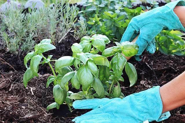 Imagem de muda de erva sendo plantada