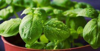 Chá de manjericão combate problemas no intestino